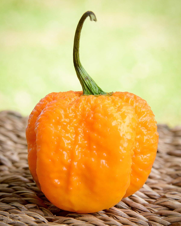 Select Premium 2020 Heirloom Red Thai Hot Pepper Seeds-M 100 25