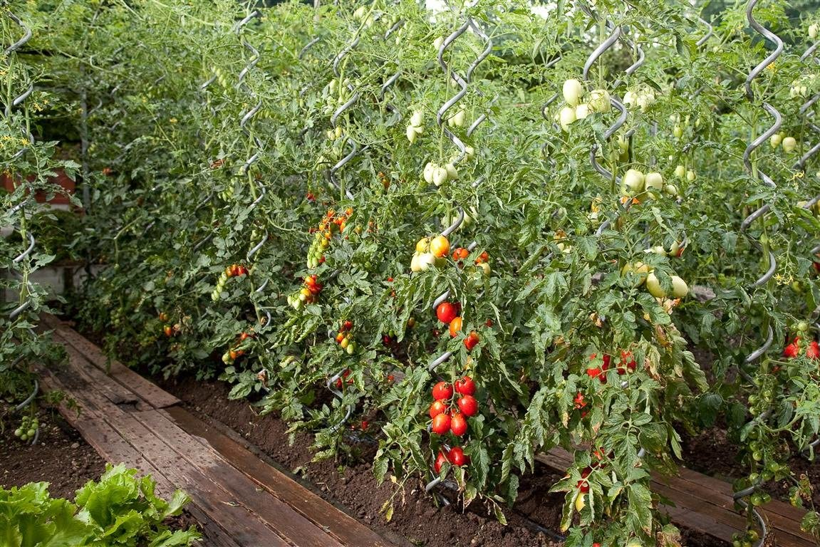 205 Cm Sostegno Per Pomodori Acciaio Zincato H