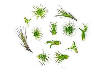 Great 12 Air Plant Variety Pack   Small Tillandsia Terrarium Kit   Assorted  Species Of Live Tillandsia