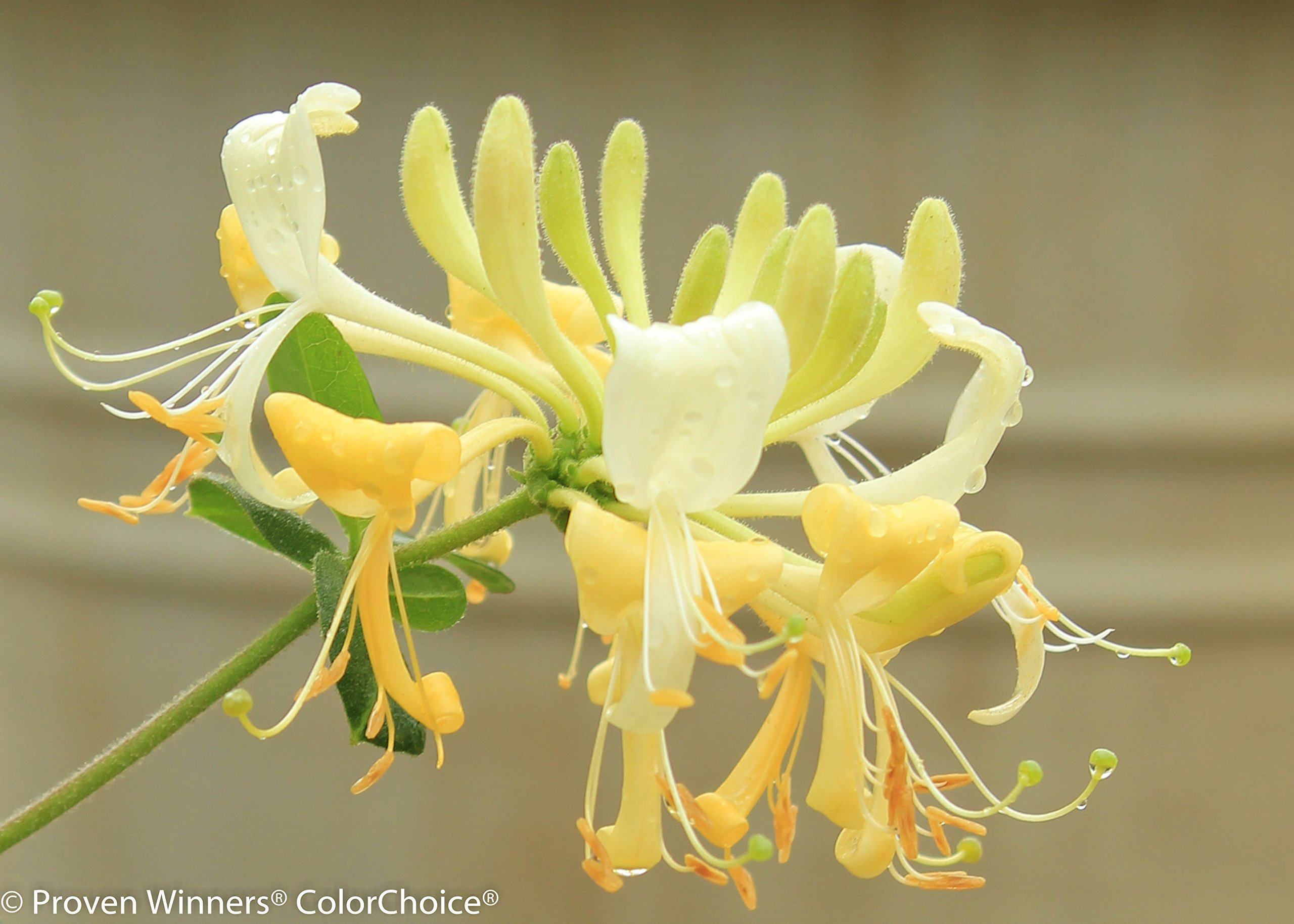 Scentsation Honeysuckle (Lonicera) Live Shrub, Yellow Flowers and Red Berries, 1 Gallon by Proven Winners (Image #6)