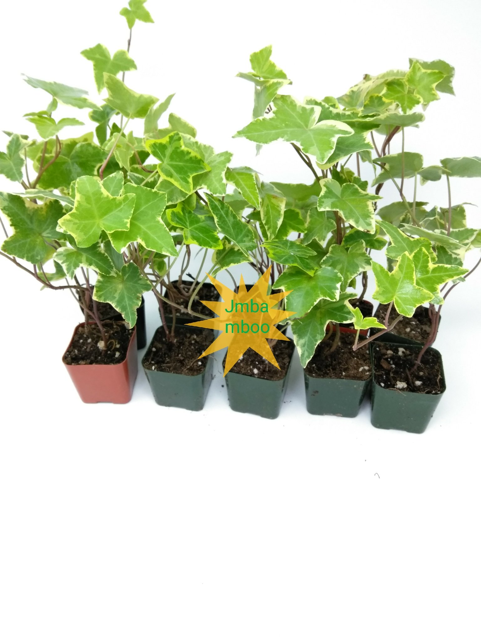 Jmbamboo - English Ivy Hedera Helix Air Purification Plant - Groundcover - 2 1/4'' Pot