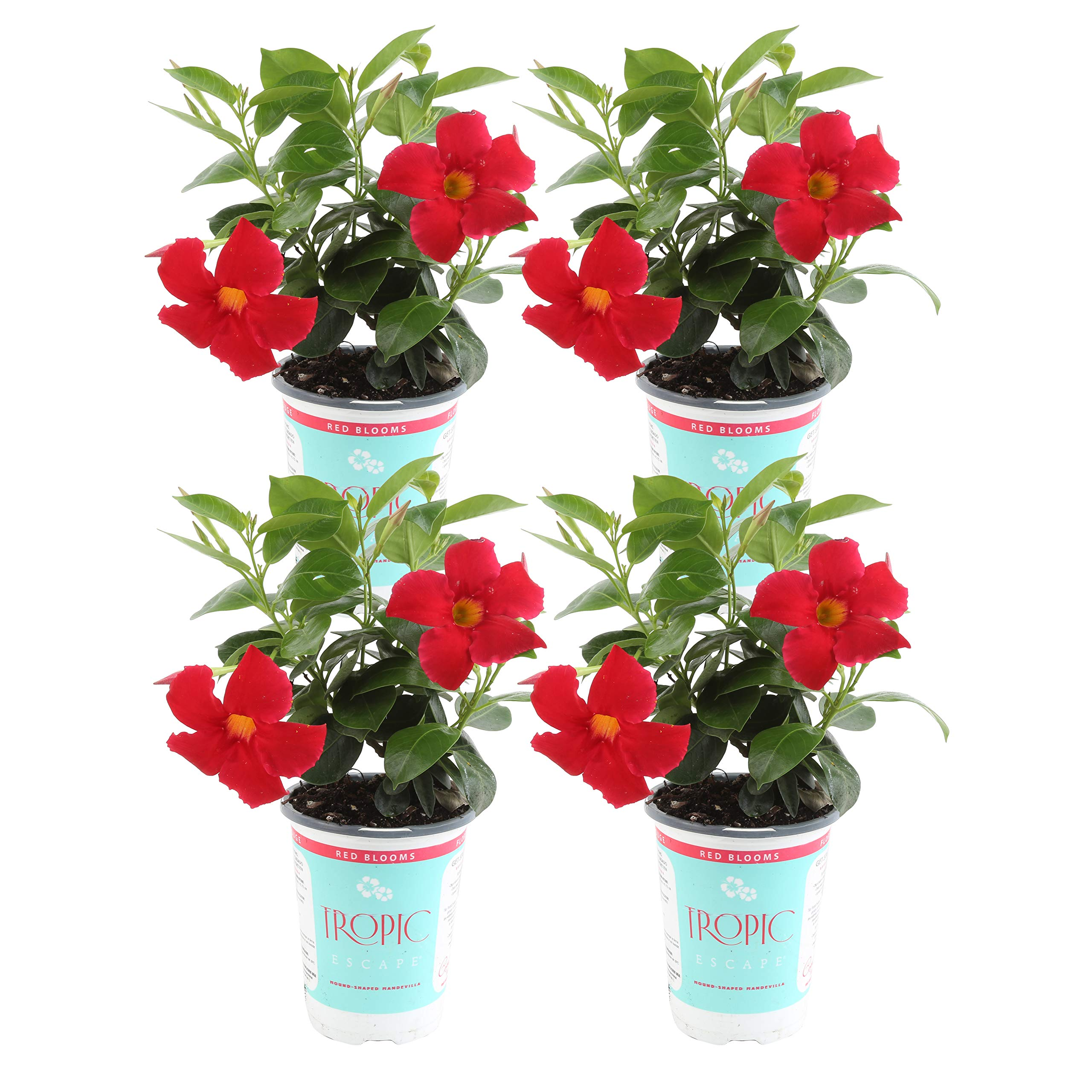 Costa Farms Live Mandevilla Outdoor Plant in in 1 QT Grower Pot, Red, 4 Pack by Costa Farms (Image #1)