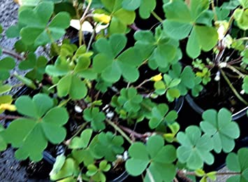 Oxalis Stricta Ground Cover Yellow Flowered Perrennial Oxalis In 7cm