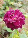 PlantVlant Rose Plant Gulab Purple Outdoor Purple Live Flowering Plant