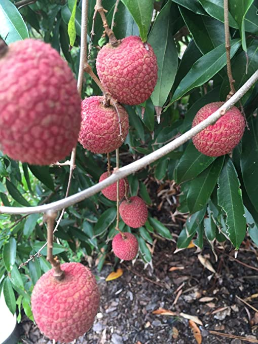 Amazon Com Lychee Potted Starter Plant Tropical Fruit Tree Litchi
