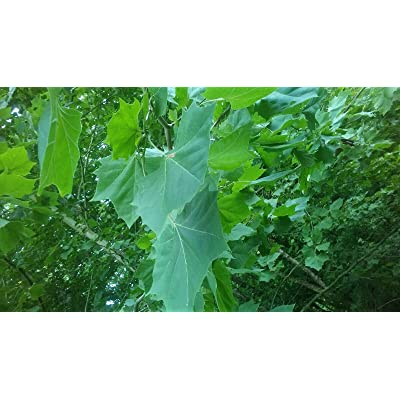 AchmadAnam - Live - 20 Cuttings Platanus occidentalis Tree cuttings American Sycamore Non Rooted : Garden & Outdoor
