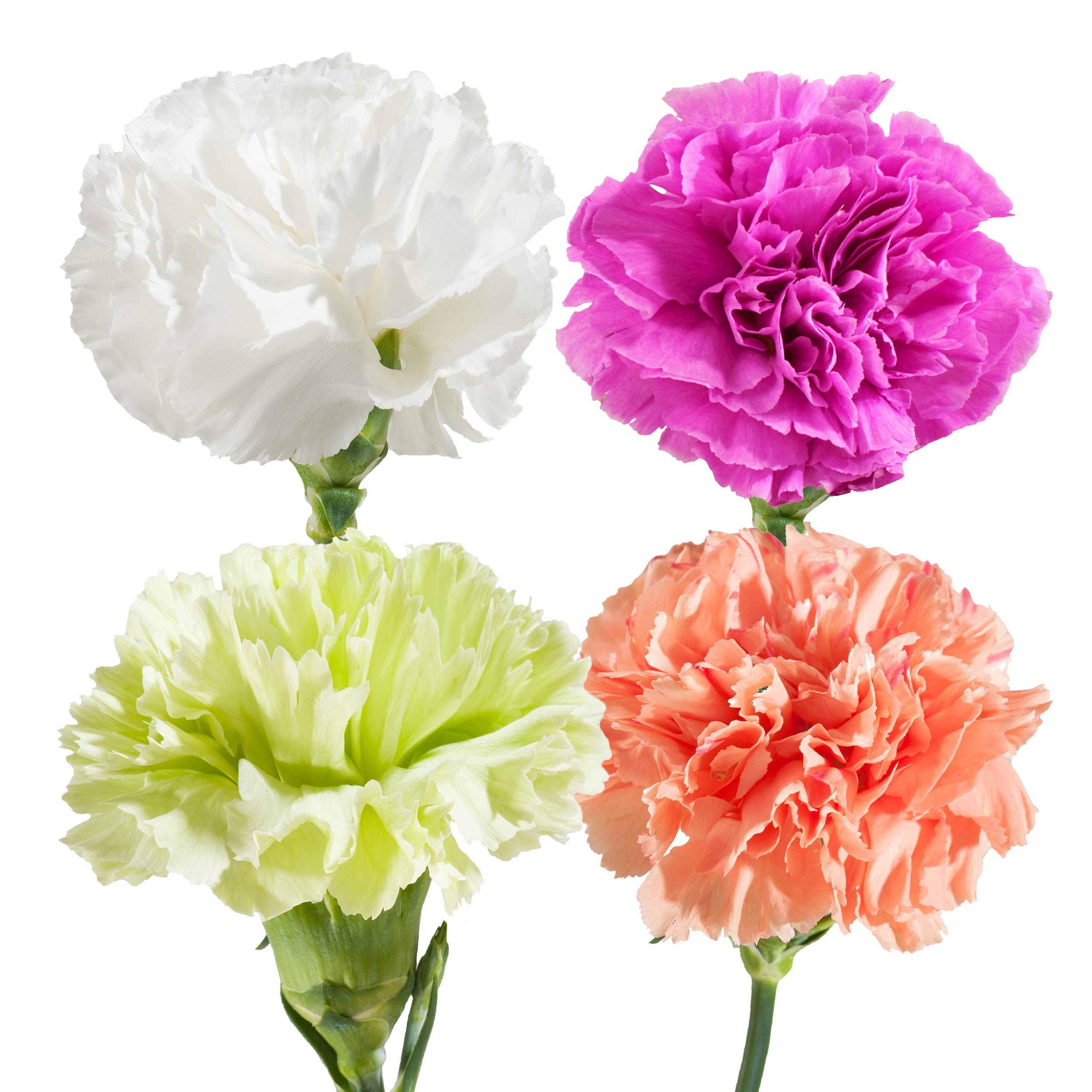 Farm Fresh Natural Assorted Carnation - 100 Stems