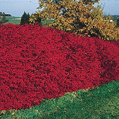 Burning Bush (Euonymus), Live Bareroot Shrub, Green Foliage Turns Red in Fall, 2 to 3 feet Tall (1-Pack)-Due to State restrictions we Can't Ship to MA, ME, MD, NY, NH, VT : Garden & Outdoor