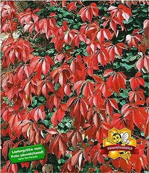 Baldur Garten Wilder Wein Quinquefolia 1 Pflanze