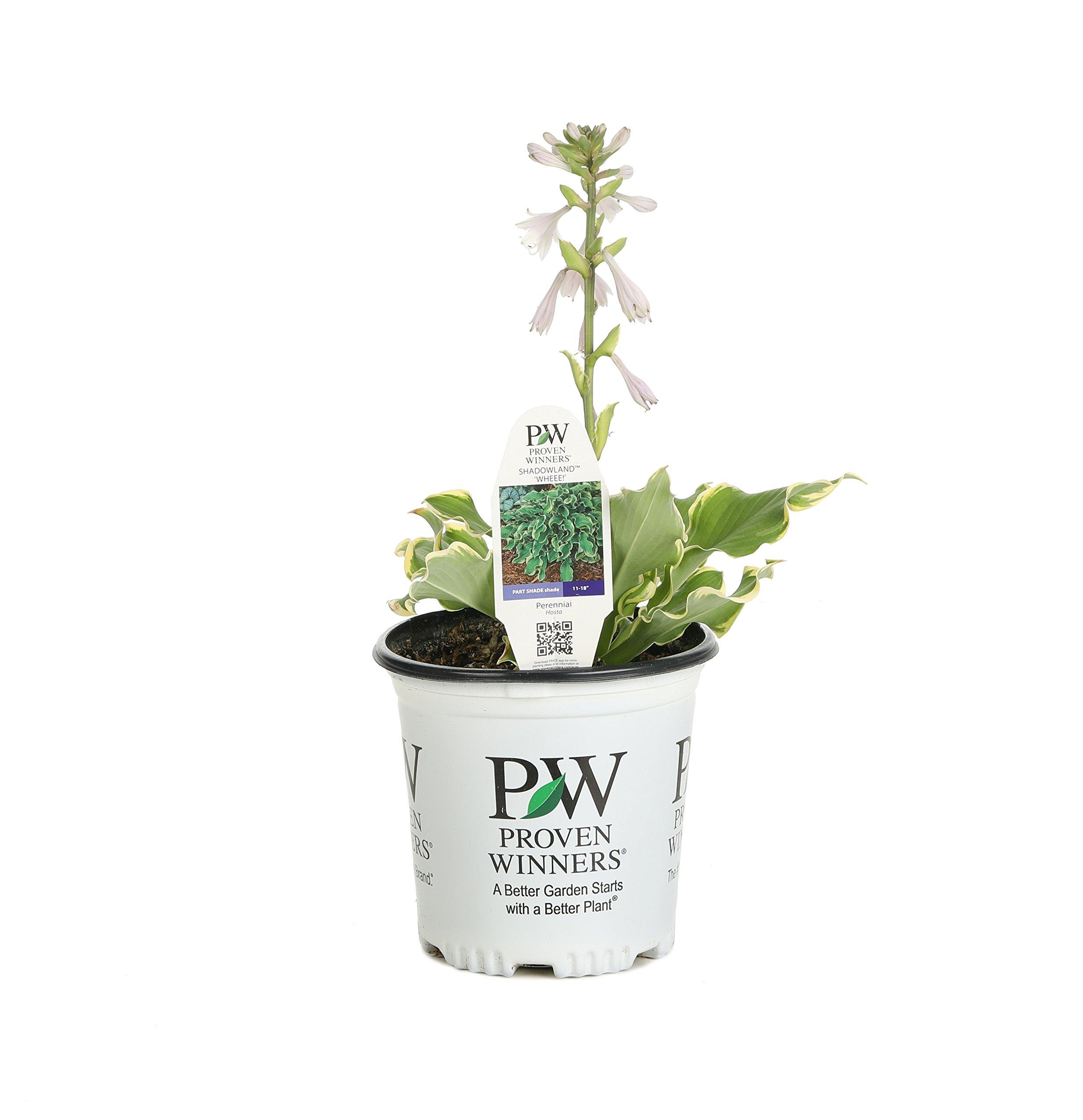 Shadowland Wheee! (Hosta) Live Plant,Green andCream Foliage, 0.65 Gallon