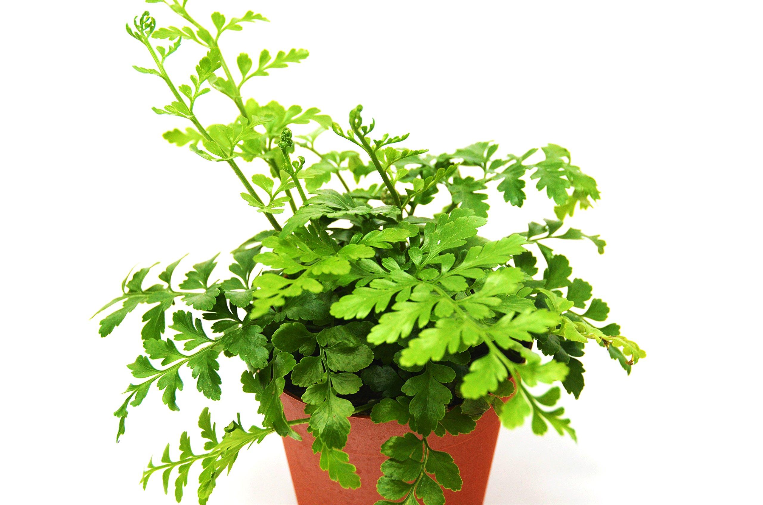 Austral Gem Fern - Live Plant - FREE Care Guide - 4'' Pot - Low Light House Plant by House Plant Shop