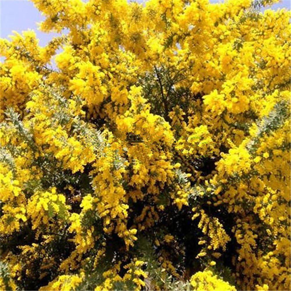 Acacia Baileyana Yellow Wattle Tree Plants Bonsai Flower Decoration good01 50 Golden Mimosa Flower Seeds