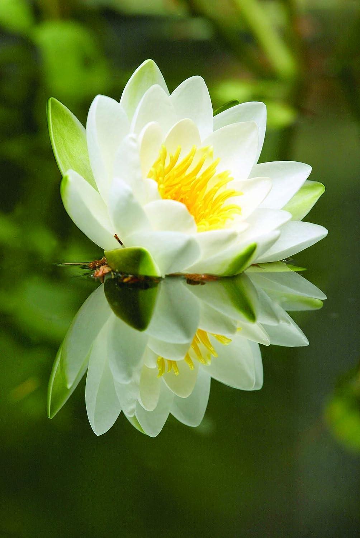 Amazon Bloomsz Nymphaea Water Lily Alba Root Garden Outdoor