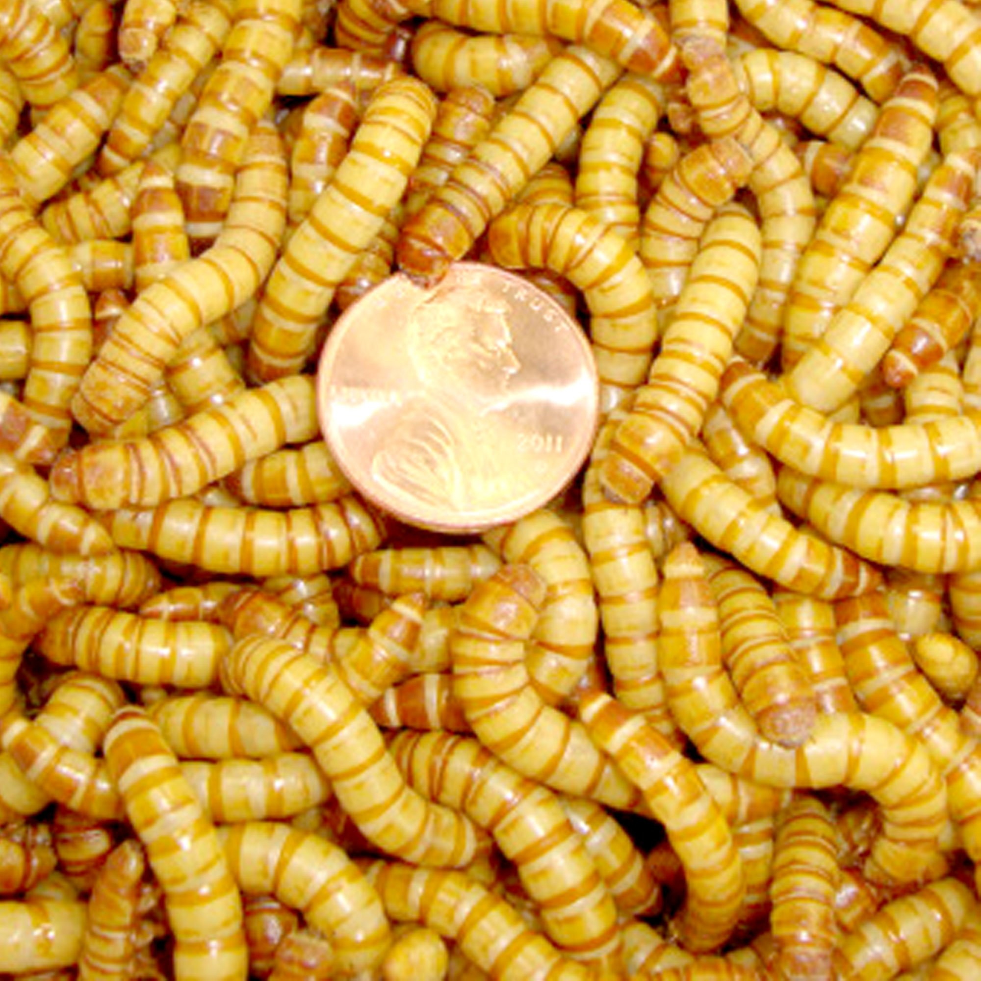 10,000ct Live Giant Mealworms, Reptile, Birds, Best Bait by Gimminy Crickets & Worms