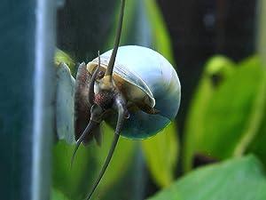 Aquatic Arts 3 Live Blue Mystery Snails Freshwater Aquarium Scraper / Real Living Nano Fish Tank Pet | Glass Clearing Snail | Natural Decor