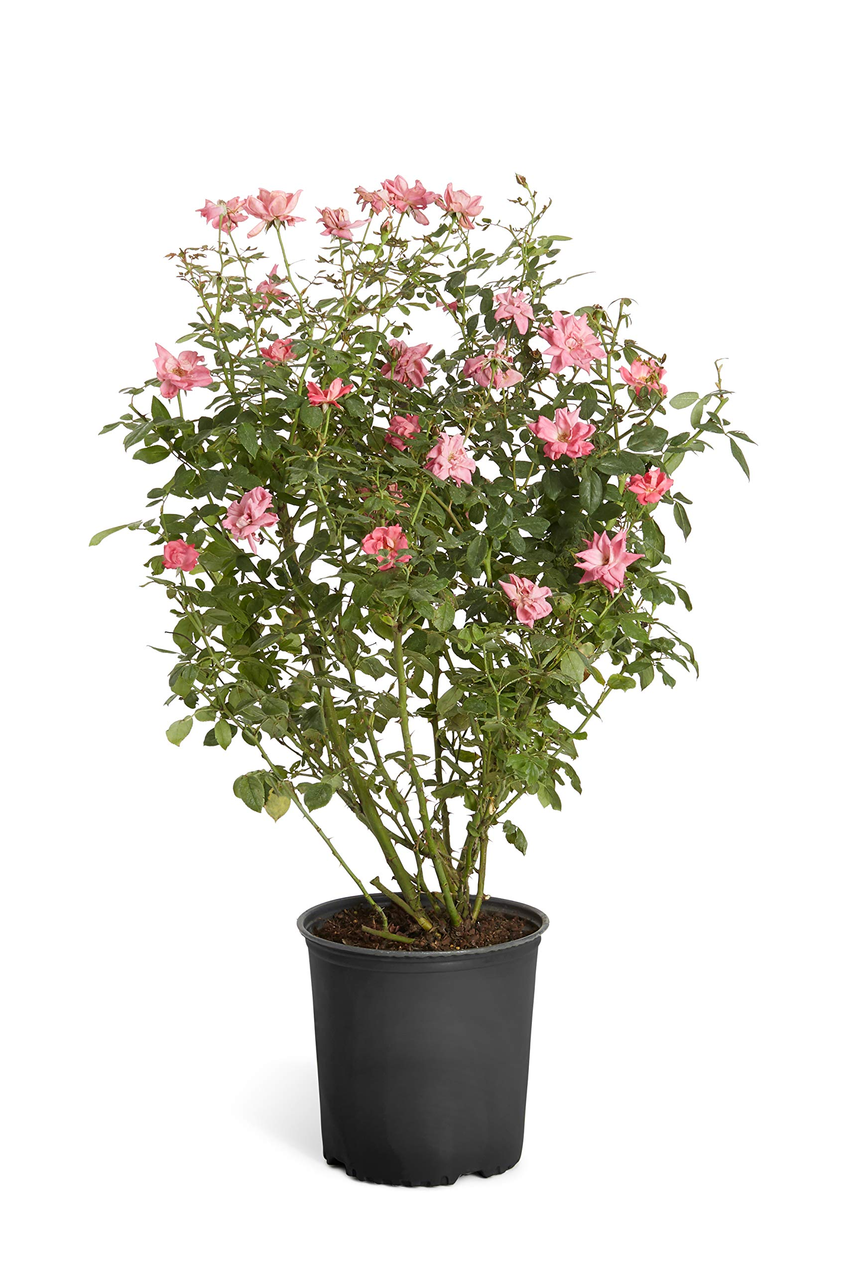 Double Pink Knock Out Rose - 2 Gallon Shrub - Developed Plants for Instant Blooms, Not Tiny Quarts, Seedlings or Seeds | Cannot Ship to AZ