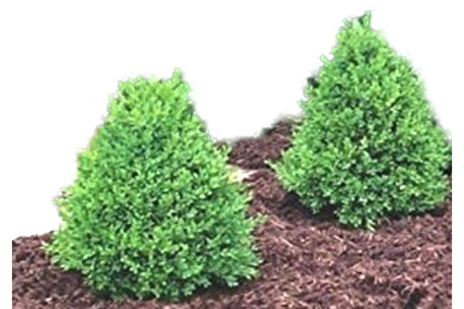 Green Mountain Boxwood - Quantity 10 Live Plants in Quart Pots by DAS Farms (No California)