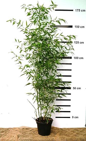 Riesen Bambus Phyllostachys Bissetii Winterhart Und Schnell Wachsend