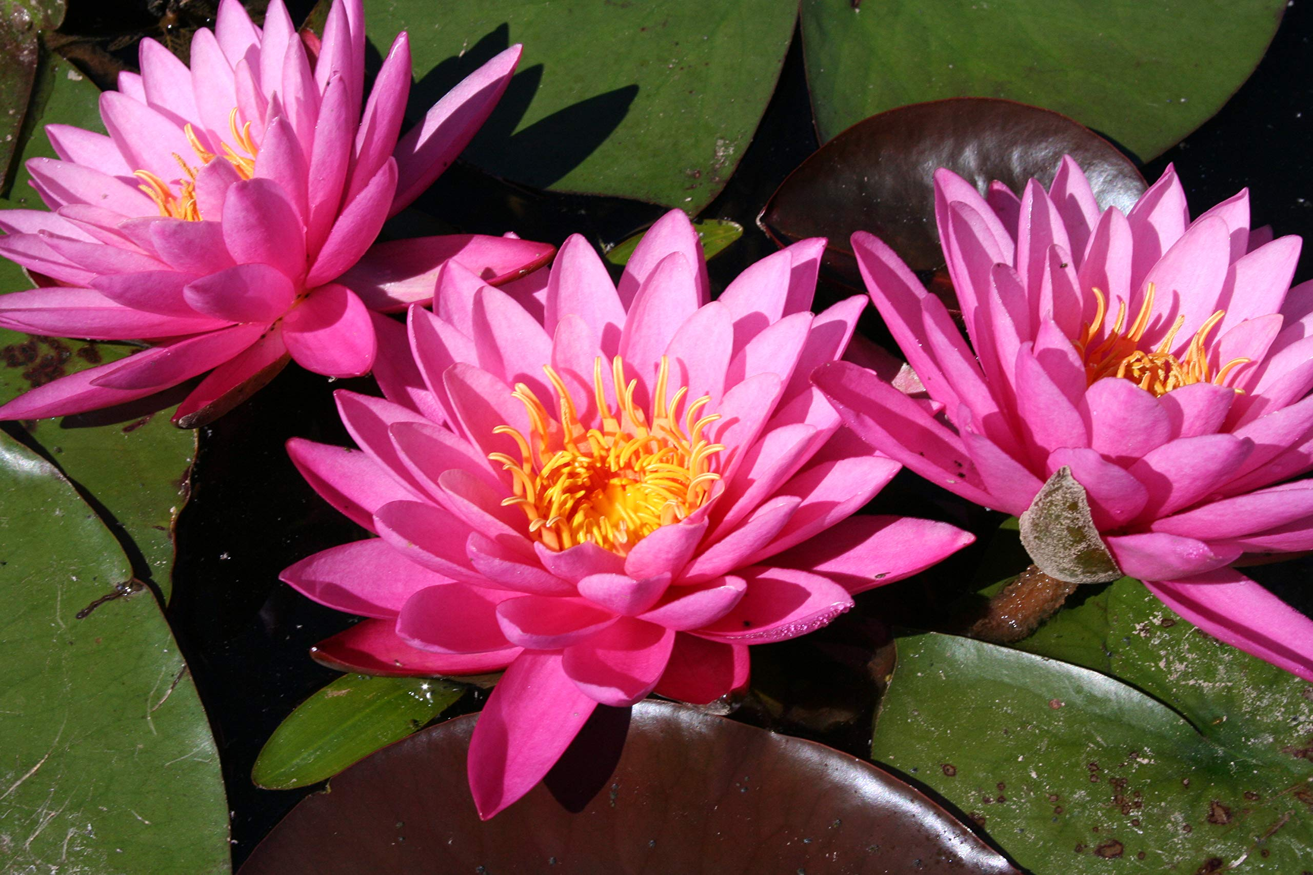 Tropical Water Lily Bundle - 3 Pre-Grown Rhizomes in White, Red, and Purple by AquaLeaf Aquatics (Image #3)
