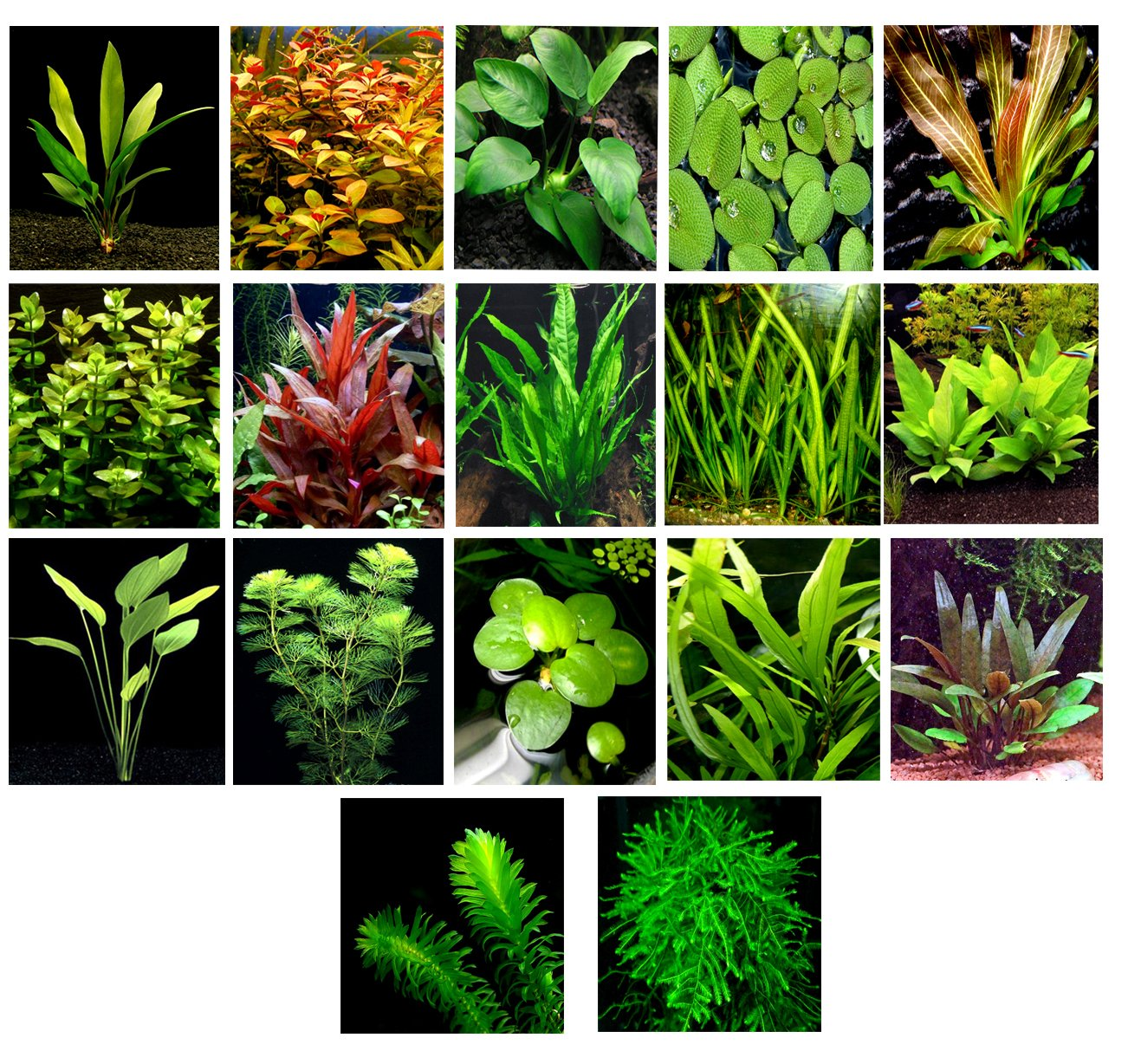 50 Live Aquarium Plants   17 Different Kinds Amazon Swords, Anubias, Java Fern, Java Moss, Ludwigia and more  Great plant sampler for 40-45 gal. tanks.