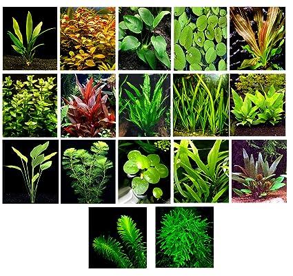 Aquarium Fan 50 Plantas de Acuario en vivo/17 Tipos Diferentes – Amazon Espadas,