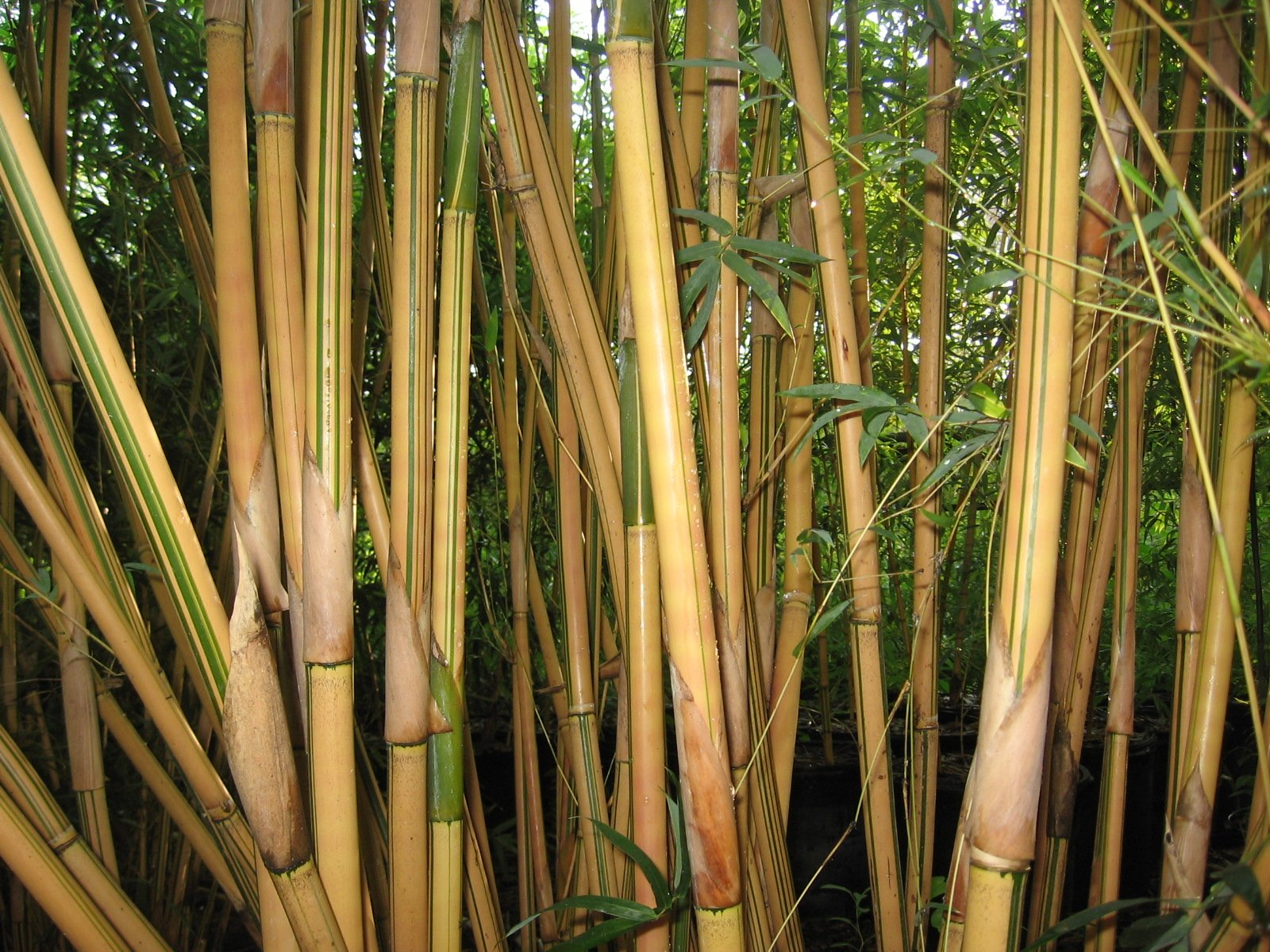 Alphonse Karr Bamboo Clumping Non Invasive Privacy Hedge by Florida Foliage (Image #2)
