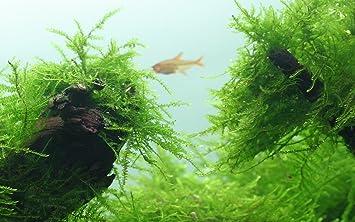 Tropica Marsilea Hirsuta 1/ /2-grow Tissue Culture in vitro planta para Acuario Camar/ón Safe /& Caracol libre
