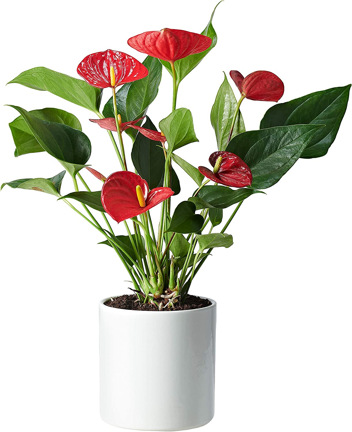 Pot Included Anthurium an Ideal Fresh Flower Gift for The Home Free UK Delivery Plant Delivered Our Anthuriums are The Perfect Indoor House Plants Free Personalised Card /& Message