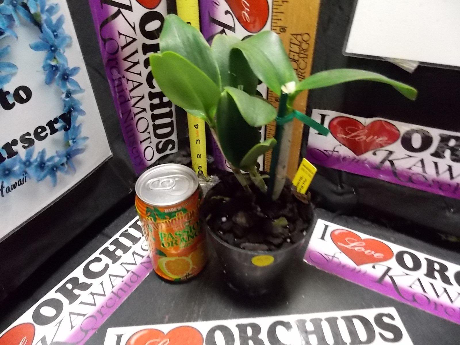 Pot. Burana Beauty 'Burana' HCC/AOS Easy to Grow! Fragrant! collectors item- orchid plant