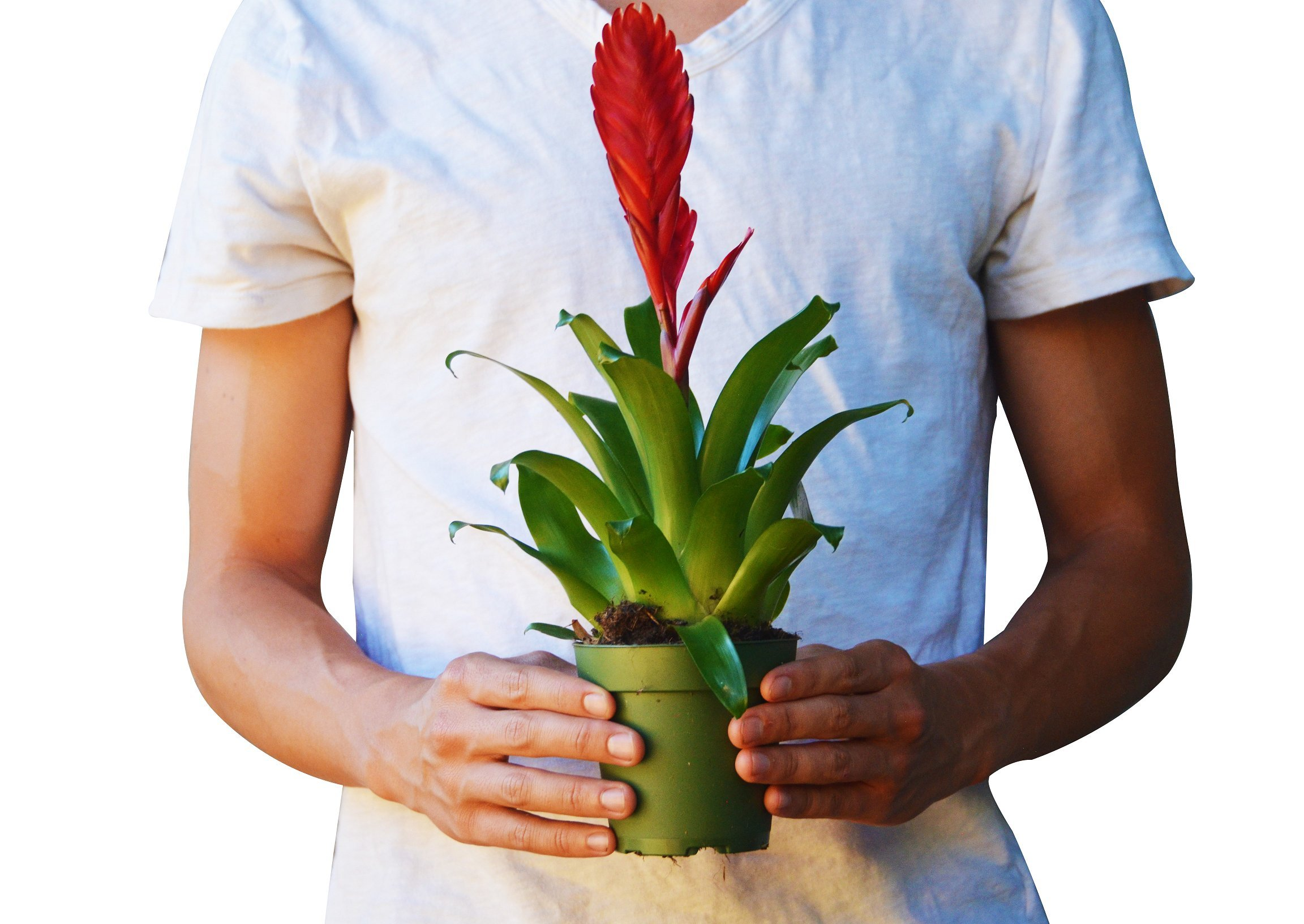 Vriesea 'Christiane' in 4'' Pot - Live Bromeliad Plant - FREE Care Guide