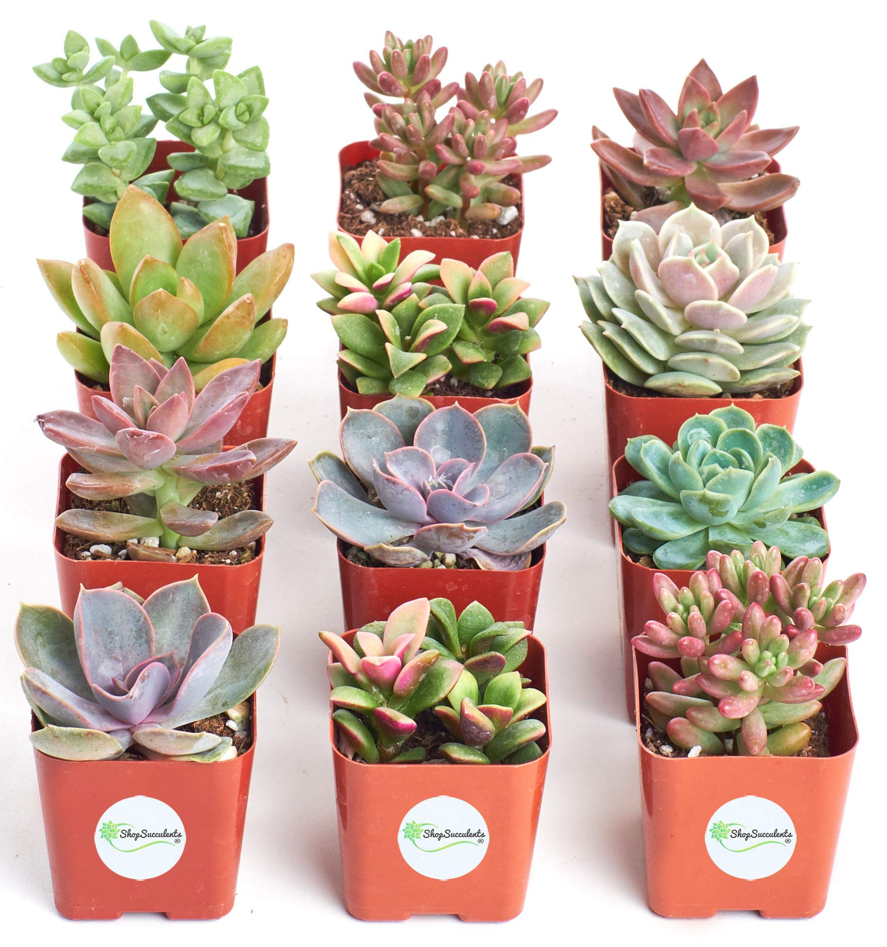 Shop Succulents  Premium Pastel Collection of LiveSucculent Plants, Hand Selected Variety Pack of Mini Succulents   Collection of 12 in 2'' pots by Shop Succulents (Image #3)