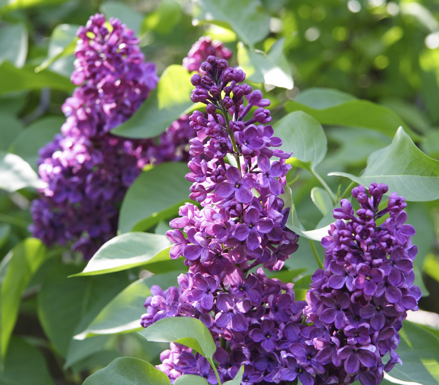 'Charles Joly' Syringa Vulgaris - Branched Lilac Tree 30-40cm Shrub in a 3L Pot. 3fatpigs beechwoodtrees 3fatpigs®