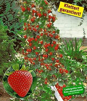 BALDUR Garten Kletter Erdbeere U0027Hummi®u0027, 3 Pflanzen Fragaria