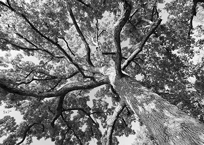 Amazoncom Oak Tree Black And White Art Photo Print Paper Or