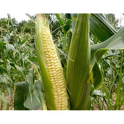 """Top Hat"" OP Sugary Enhanced Hybrid Yellow Corn Seeds, 25+ Premium Heirloom Seeds, Incredible flavor, Hot Price! (Isla's Garden Seeds), Non Gmo Seeds, 85% Germination, Highest Quality Seeds, 100% Pure : Garden & Outdoor"