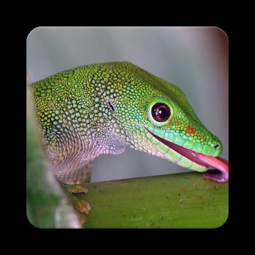 Lizard Animals (Gecko Wallpapers)