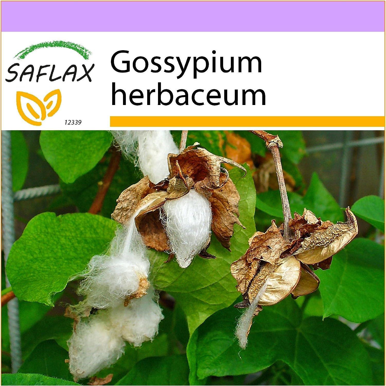 SAFLAX - Algodón - 12 semillas - Gossypium herbaceum