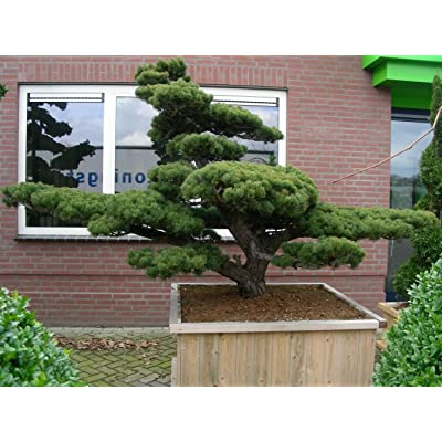 Japanese White Pine, Pinus Parviflora, 5 Tree Seeds : Garden & Outdoor