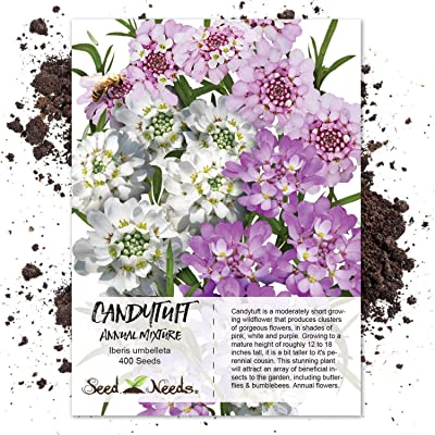 Seed Needs, Candytuft Mixture (Iberis umbelleta) 400 Seeds : Flowering Plants : Garden & Outdoor
