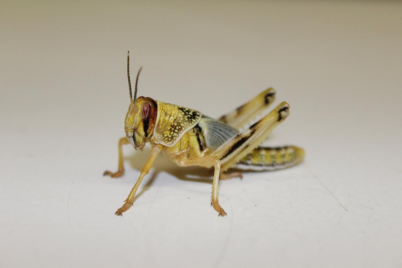 Heuschrecken Wüstenheuschrecken subadult 50 Stück Futterinsekten Reptilienfutter Futtertiere Flos-Oase