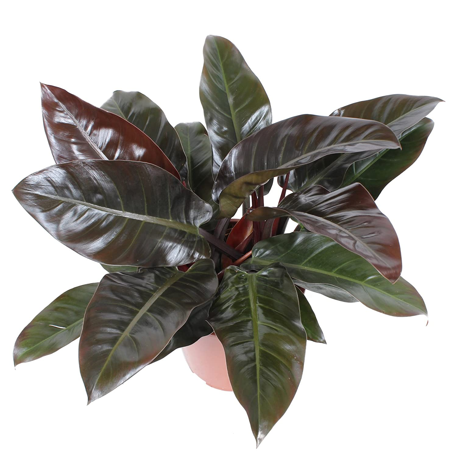 Picture of Live Red Leaf Philodendron aka Philodendron erubescens Plant Fit 1 QRT pot