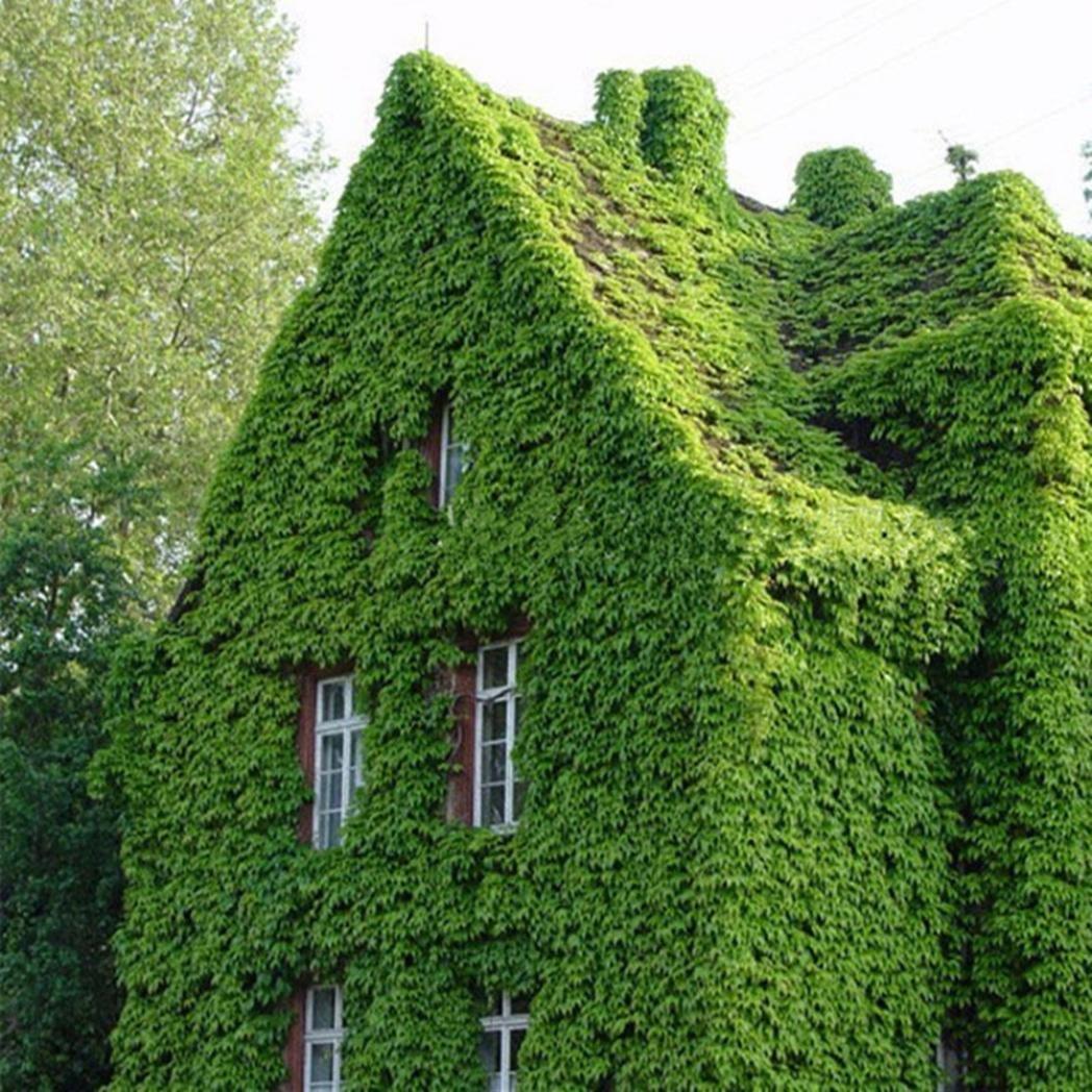 Steellwingsf 50Pcs Green Boston Ivy Vine Seeds DIY Home Garden Outdoor Climbing Rare Seeds