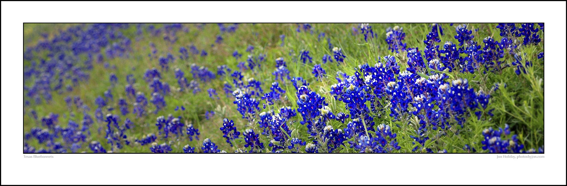 Texas Blue Bluebonnets Photographic Art Poster 12 inches X 36 inches Standard Size Print Photo Picture by PHOTOSBYJON