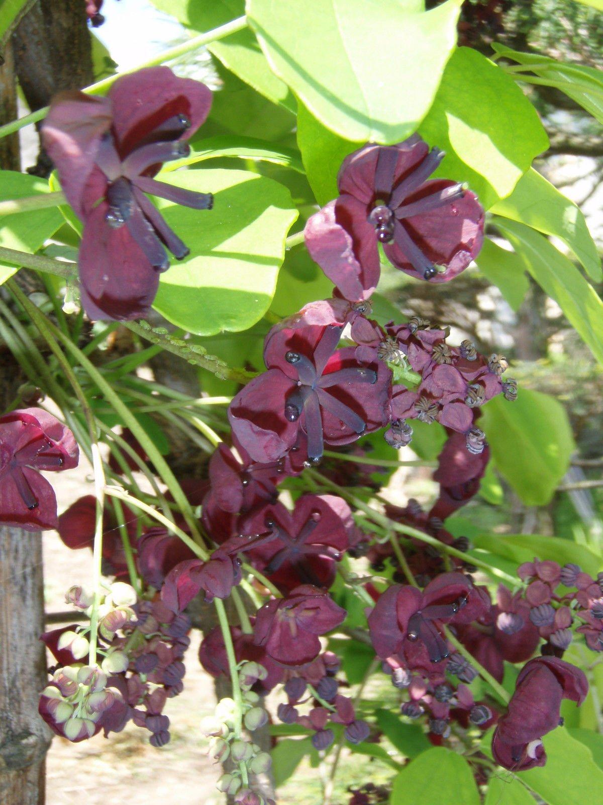 Akebia quinata CHOCOLATE VINE Seeds!