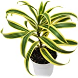 "HOUSEPLANTSHOP | Dracaena 'Song of India' - Live Plant - Free Care Guide - 4"" Pot - Hard to Kill"