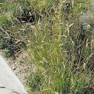 50 Seeds Blue GRAMA Grass Bouteloua Gracilis : Garden & Outdoor