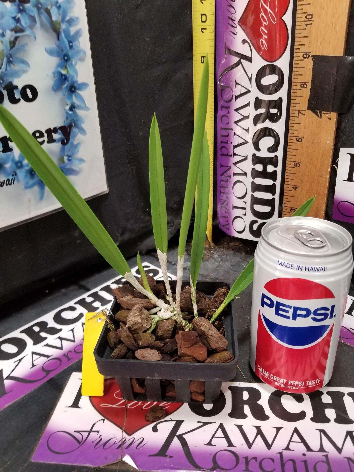 B. nodosa 'Remar' x 'Mas Major' New! Easy to Grow! Fragrant at Night! Orchid Plant