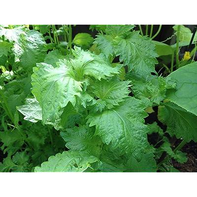 100 Green shiso Perilla frutescens Japanese Basil Organic Seeds : Garden & Outdoor