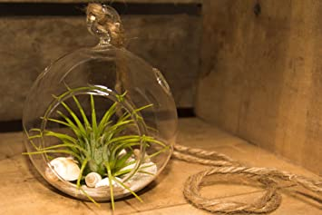 Hinterland Trading Air Plant Tillandsia with Hanging Glass Globe and  Seashells Kit Great Little Houseplant