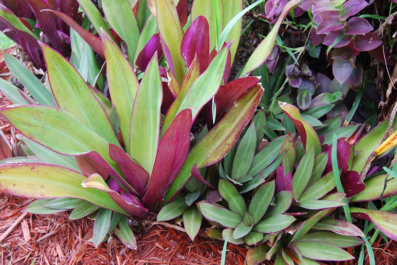 Oyster Plant Tradescantia Spathacea Rhoeo Boatlily Purple//Green